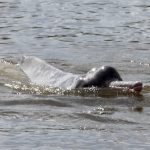 The mysterious Araguaian river dolphin of Brazil, once thought to live a solitary life, can actually communicate using hundreds of different sounds.