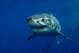 Even great white sharks, an apex predator of the ocean, would rather not face off against orca whales, according to a new study.