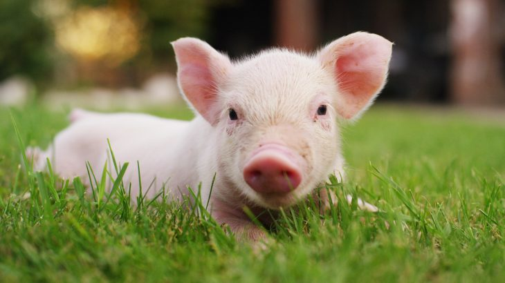 Researchers from Yale University successfully restored some cellular activity in a decapitated pig's brain four hours after its death.