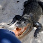 The history of alligator wrestling is entwined with the history of oppression of Native Americans in the Deep South.