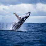 Protecting marine animals may be one of the best ways to thwart climate change, according to University of Alaska Southeast professor Heidi Pearson.