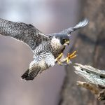 Mercury contamination has spread to peregrine falcons both in the United States and worldwide, according to new research.