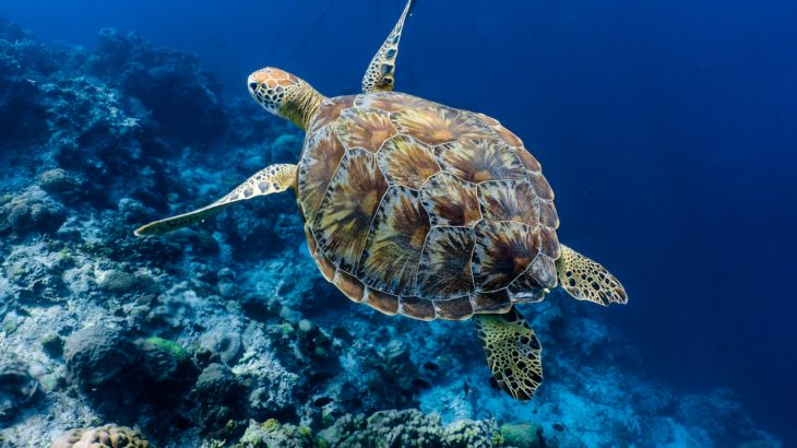 Nearly every species of sea turtles are endangered, including hawksbills and green turtles, but ocean surveys show that some populations are now increasing.