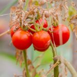 Wild tomato plants produce a natural insect repellent that could be bred into garden varieties, creating insect-resistant tomatoes without the use of harmful pesticides.