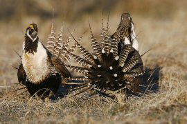 A look at the recent changes in conservation plans for the Greater Sage Grouse as well as the differences between the Greater Sage Grouse and the Gunnison Sage Grouse.