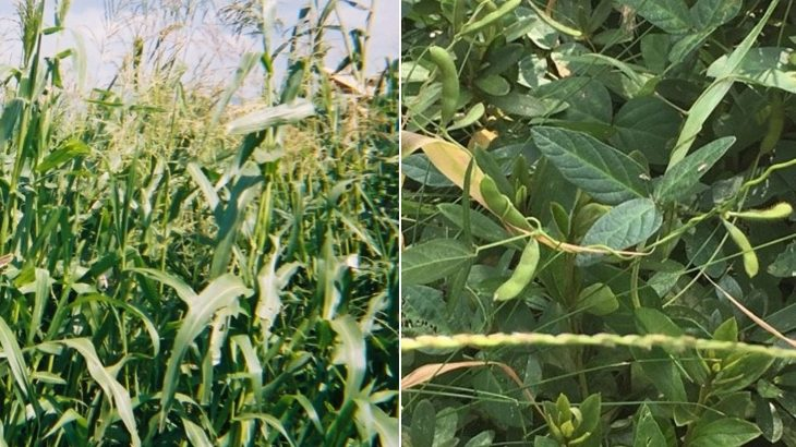A new study has pinpointed specific genomic features that likely made it feasible for corn and soybeans to be domesticated.