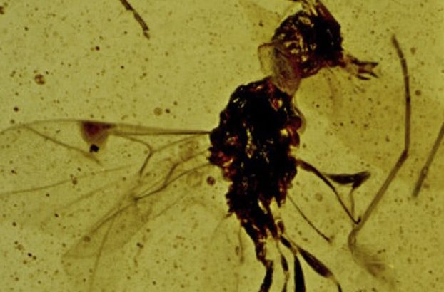 The fossil of a small wasp discovered trapped in Burmese amber belongs to a new subfamily of wasps named after one of fiction's most infamous vampires.