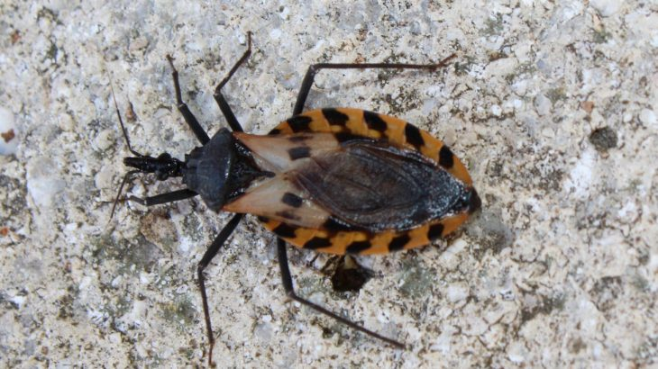 According to the Centers for Disease Control and Prevention (CDC), the kissing bug has made its first confirmed appearance in the state of Delaware.