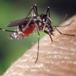 GMO mosquito sucking human blood