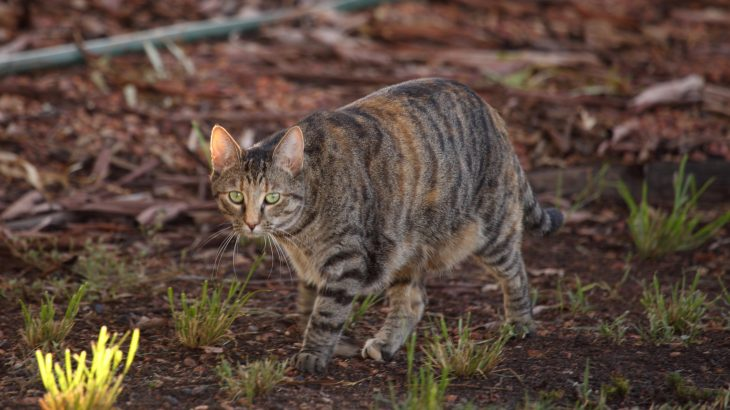Australia's main goal in culling its feral cat populations is conservation, and the hope is that it will help protect and conserve Australia's native bird and reptile species.