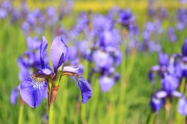 iris flower growing guide