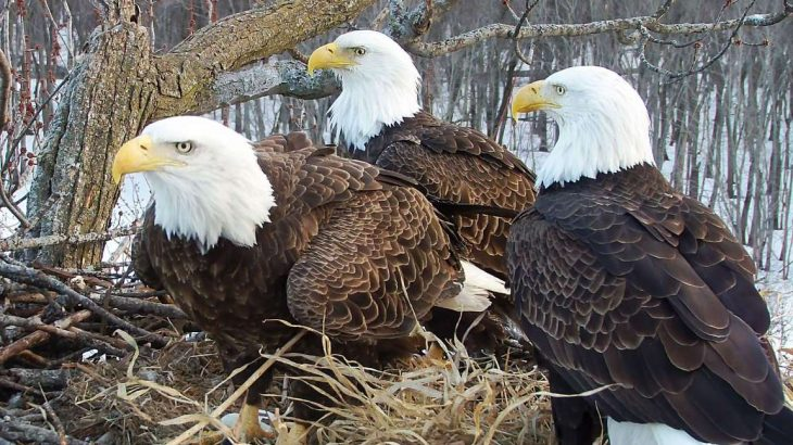 Three birds on one nest: Bald eagles showcase surprising teamwork