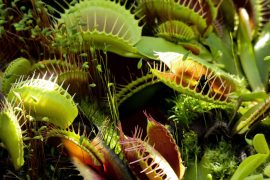 venus fly trap digestive plant enzyme