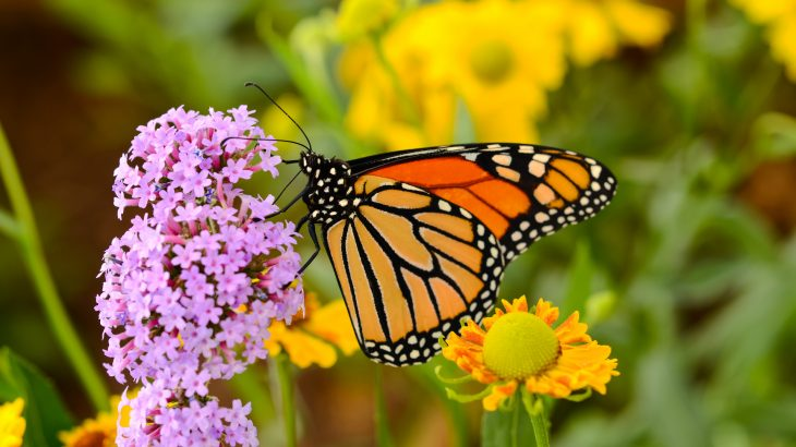 Humans are partially responsible for the global success of monarch butterflies, but tragically we may be the ones to put an abrupt end to it as well.