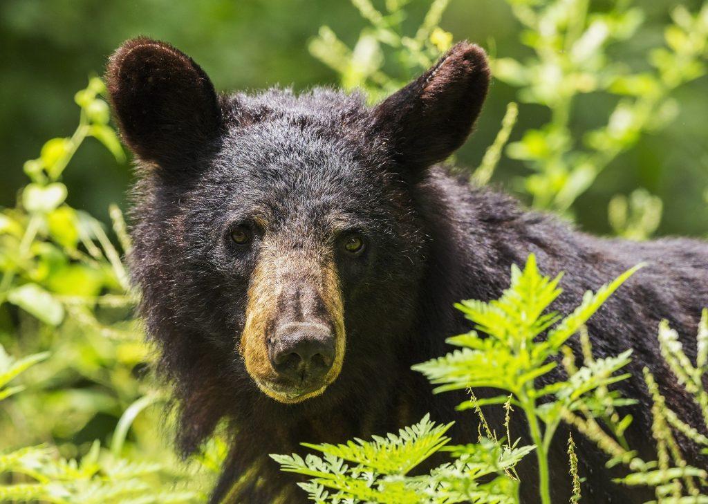 Black bear behind ferns looking at the camera
