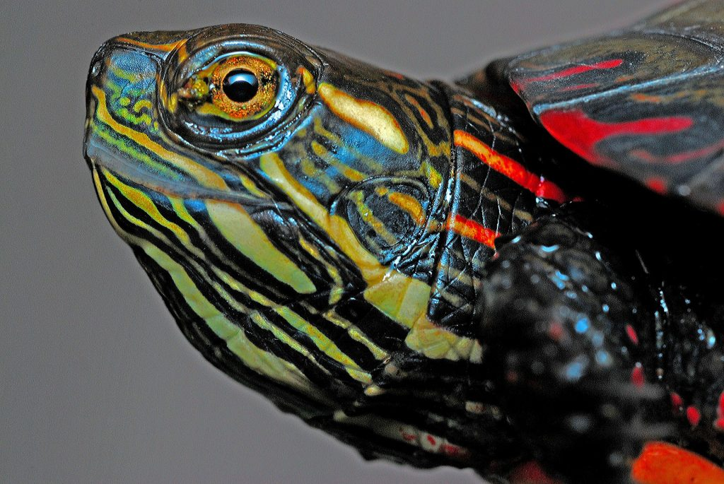 Close up of a painted turtles head