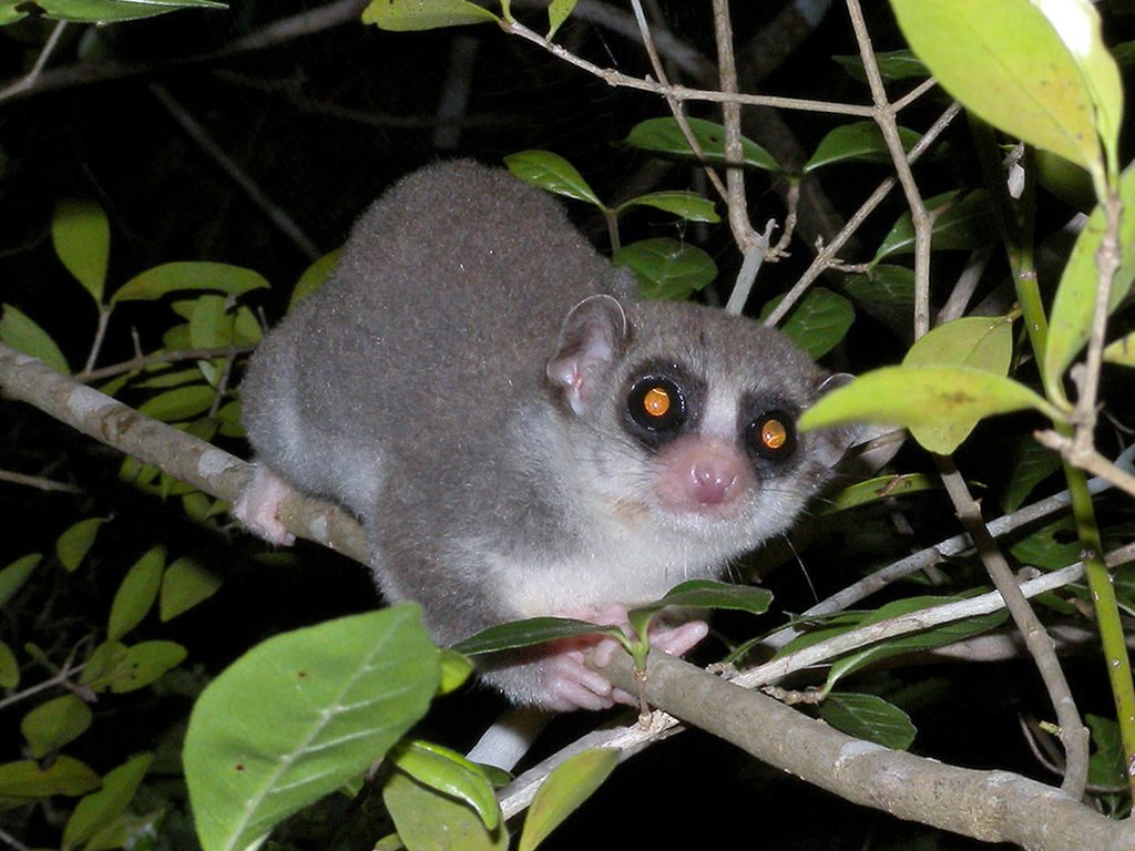 A fat-tailed dwarf lemur on a branch at night