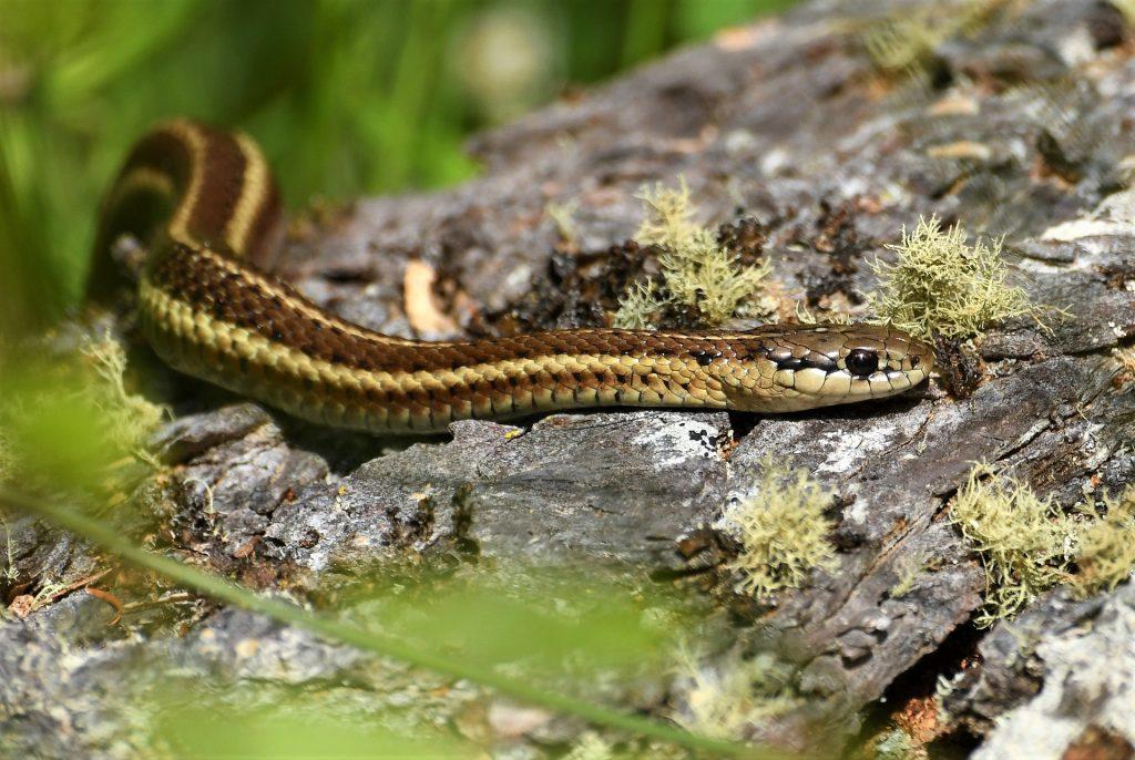 A garter snake on a rock with lichen