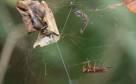 """An international team of researchers has discovered the underlying mechanisms that allow parasitoid wasps to control or """"zombify"""" a host spider."""