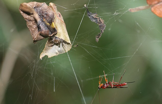"An international team of researchers has discovered the underlying mechanisms that allow parasitoid wasps to control or ""zombify"" a host spider."