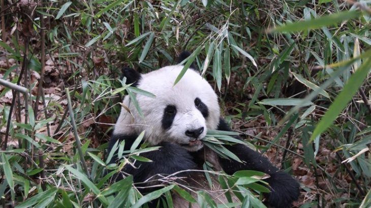 A new study has revealed that the strict vegetarian diet of giant pandas may not actually be as different from the diets of carnivores as it would seem.