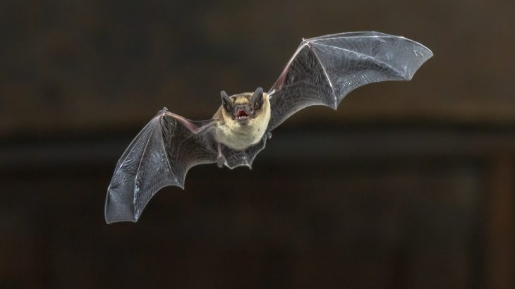 A new study revealed that up until about 34 million years ago, echolocation was the primary driver of skull shape among bats.
