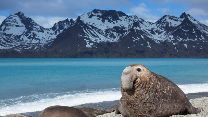 A southern elephant seal has become an unlikely researcher, thanks to a sensor attached to her head for three months as she foraged in the ocean off Antarctica.