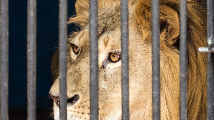 Lions stuffed into tiny cages, awaiting their deaths in a blood-stained slaughterhouse. This is reality for lions living in a captive breeding facility in South Africa.