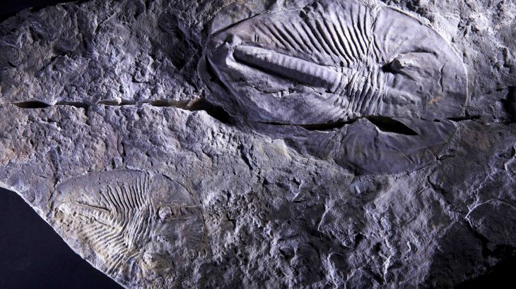 Surges and extinctions in animal biodiversity during the Cambrian explosion, which occurred about 540 million years ago, corresponded with atmospheric oxygen fluctuations.
