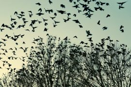 The jackdaw bird sticks with its mate while in flock formation, even though this action negatively impacts the overall flock.