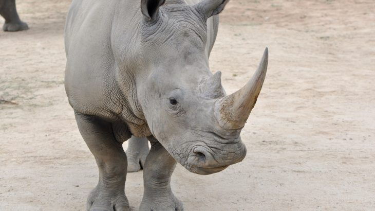 A team of scientists has created a flexible robot to assist in saving the northern white rhino species through artificial reproduction.