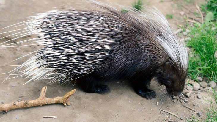 Lions may be four-hundred-pound top predators, but a new study from the Field Museum is describing how porcupines can often take them down.