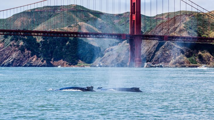Usually, around five to ten gray whales wash ashore in San Francisco throughout the year, but this year has seen an alarming and frequent number of dead whales.