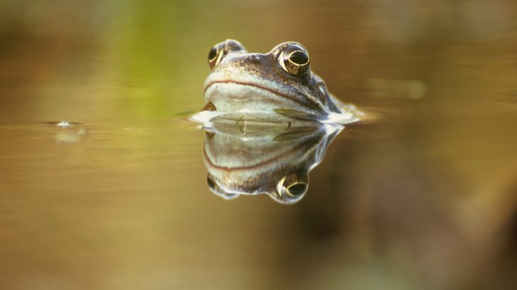 Climate change has created the perfect conditions for a severe disease to quickly spread and infect frogs in the UK.