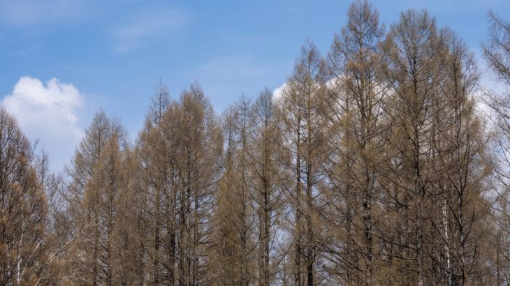 Larch trees in China's northeastern forest are growing fast as temperatures rise, but melting permafrost could destroy them.