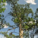 Several bald cypress trees in North Carolina are the oldest trees in eastern North America and the oldest known wetland tree species in the world, according to a new study.
