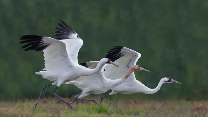 For the first time since the late 1800s, there were more than 500 whooping cranes counted wintering at Aransas in 2018.