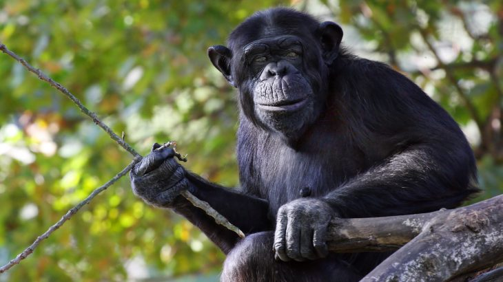 Nine of the ten chimps learned to excavate for the fruit and eight of the ten chimps preferred using tools rather than digging up the fruit with their hands.