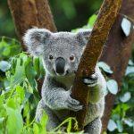 There are only 80,000 koala bears left in Australia, according to the Australian Koala Foundation (AKF).