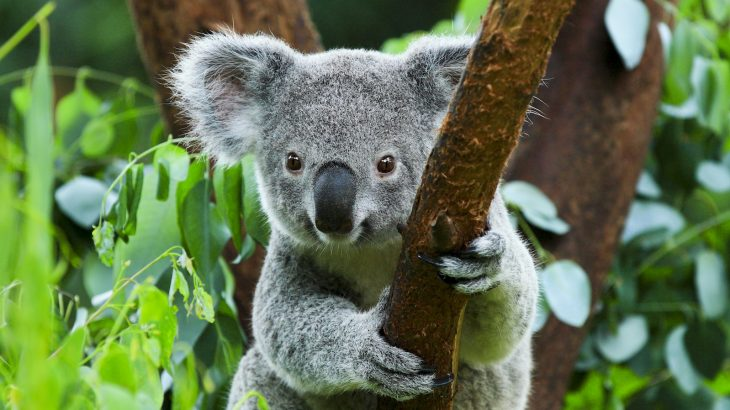 There are only 80,000 koala bears left in Australia, according to the Australian Koala Foundation (AKF).
