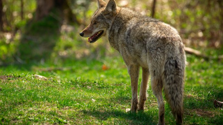Eastern coyotes look much different than western coyotes, suggesting that the notoriously adaptable animals have undergone hybridization.