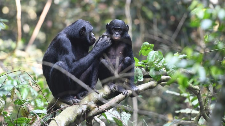 Bonobo mothers may be some of the most meddling moms in the animal kingdom, according to a new study.
