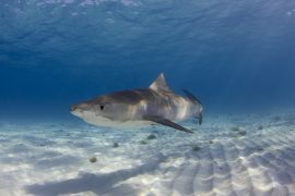 """Known affectionately as the """"garbage cans of the sea,"""" tiger sharks are known for eating almost anything they come across — from sea turtles to rubber tires."""