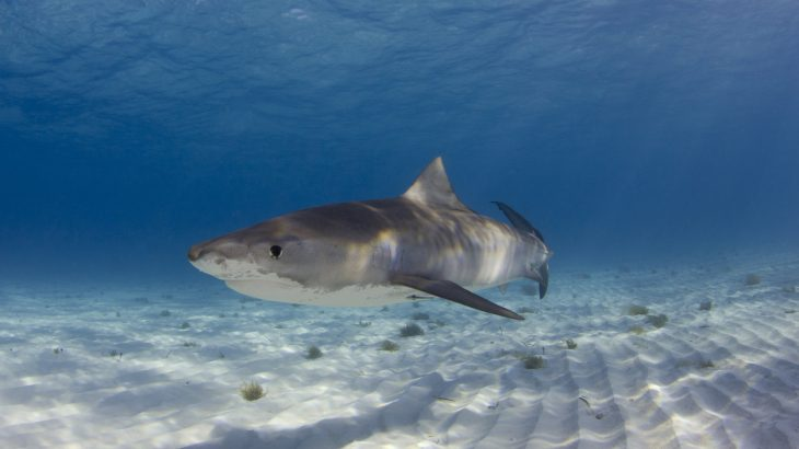 "Known affectionately as the ""garbage cans of the sea,"" tiger sharks are known for eating almost anything they come across — from sea turtles to rubber tires."