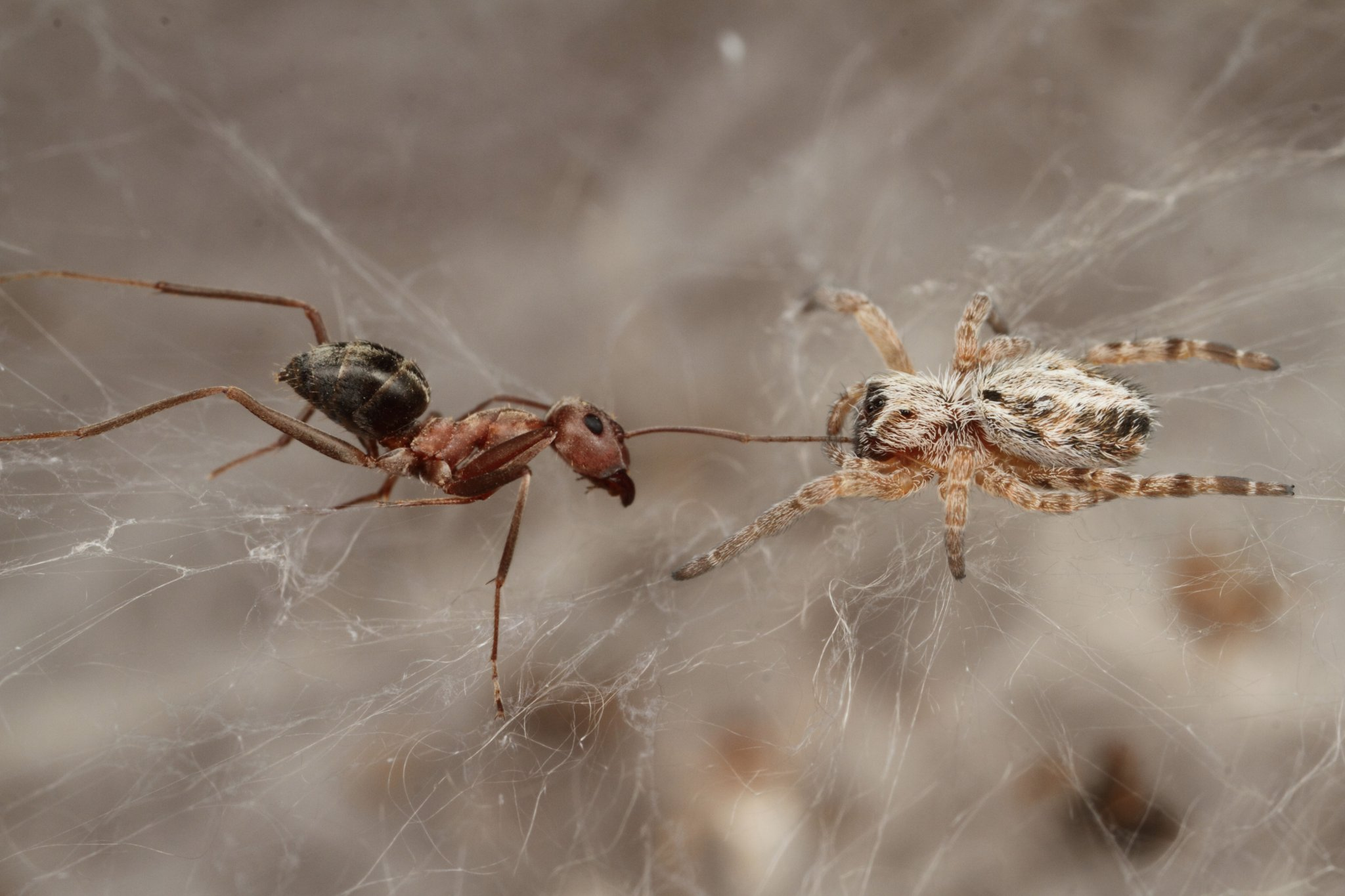 When spiders unite: African social spiders live in large