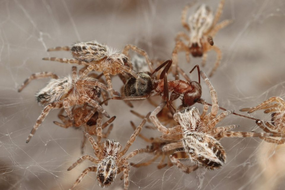 African social spiders live in giant communal webs. New research shows that, like other social arthropods, they are able to communicate.