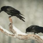 A new study from the University of Vienna has found that a grumpy raven can pass along its bad mood to other ravens.
