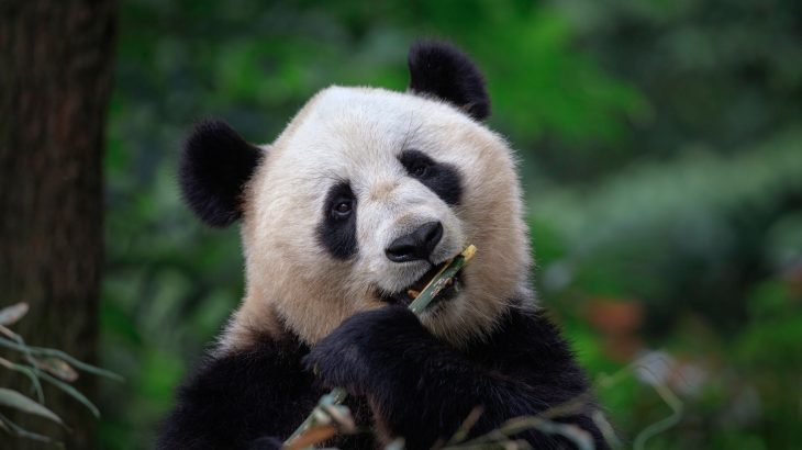 Facial recognition software is now being used to help conservationists identify and monitor wild pandas in China.