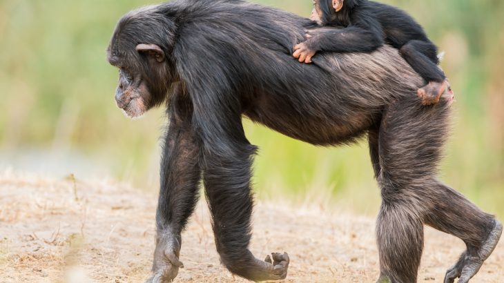 Chimpanzees are attracted to human settlements where fruit farms yield tasty treats for those brave enough to get close to them.