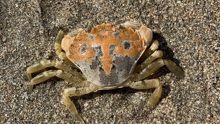 Scientists at the University of Exeter have discovered that crabs of the same species do not always use the same camouflage techniques.